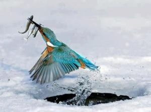 birds kingfisher2