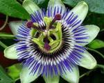 herbs passionflower 2